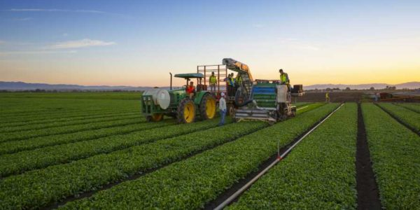 New Vegetable Varieties Ready for Automation Innovation
